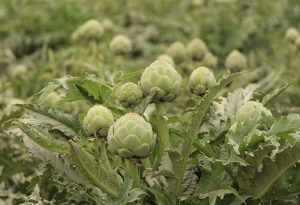 Artichokes grow well in California's cool coastal climate in the Salinas Valley.